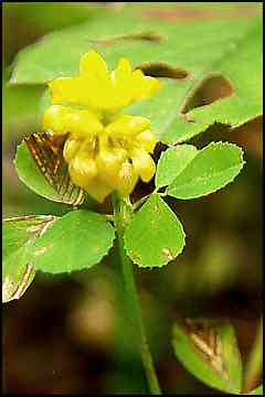 Clover hop trifolium agrarium the flowers and leaves of the hop clover can be eaten raw or cooked drunk as a tea or the flower heads can be dried and ground into a nutritious flour mightylinksfo